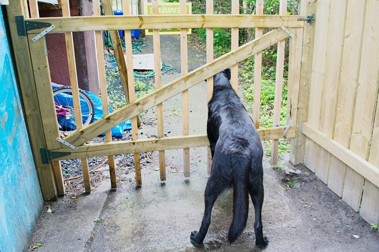 Fence Beware Of Dog Black Dog Head Through Fence Rustic Lake Life Check This Out! Domestic Pets Curious Black Lab Summer Dogs Waiting For Someone Eye Em Best Shots Eye Em Gallery Eye Em Animals