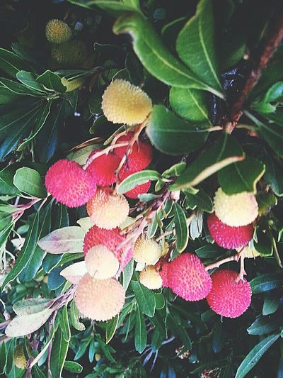 Irish strawberry bush