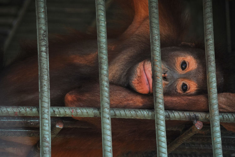 Portrait Of Monkey Relaxing In Cage