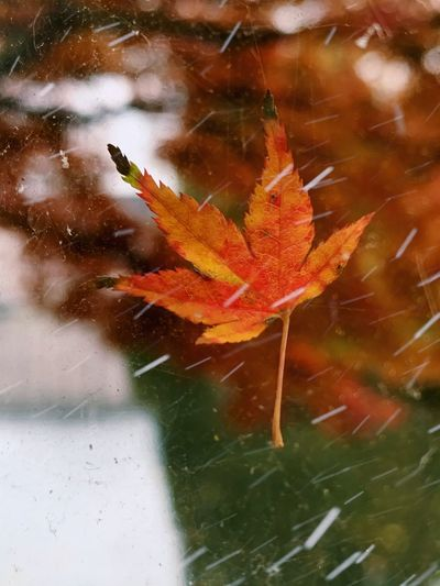 High angle view of maple leaf on tree during autumn