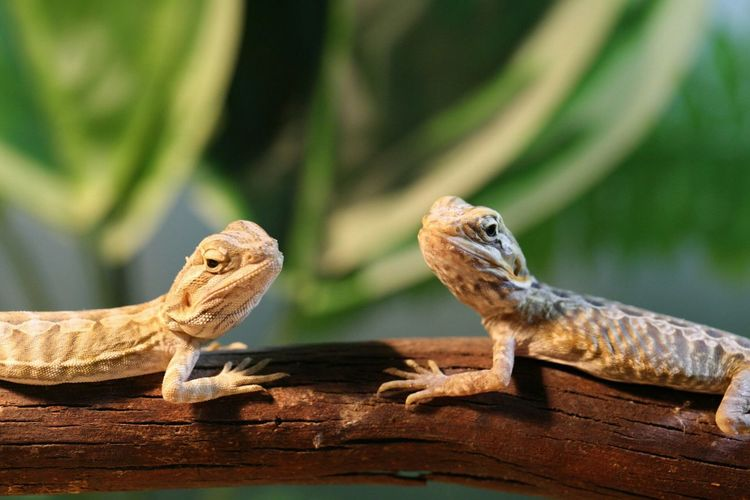 Lizards on branch