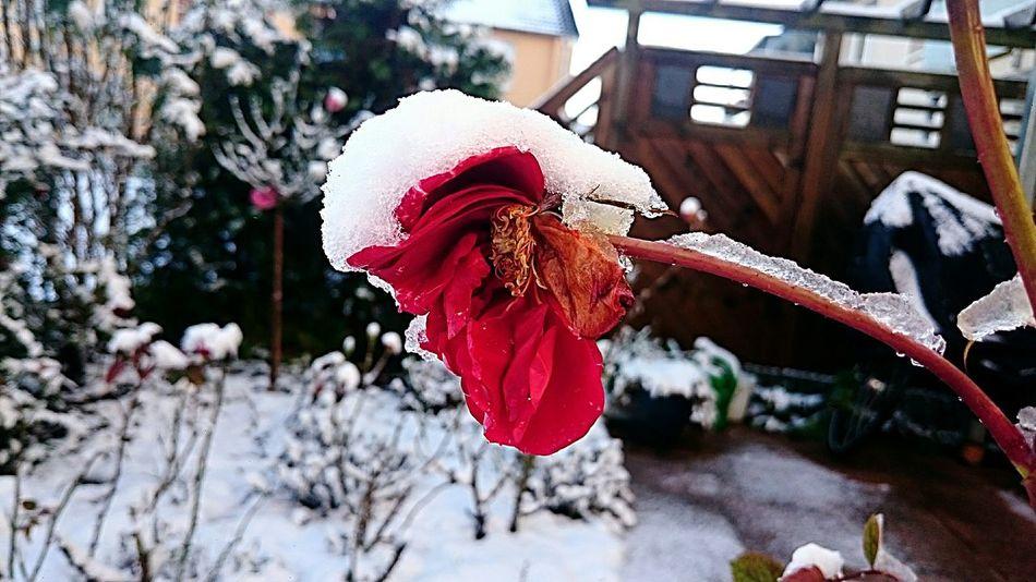 Nature Flowercloseup Snow ❄ Snowflower