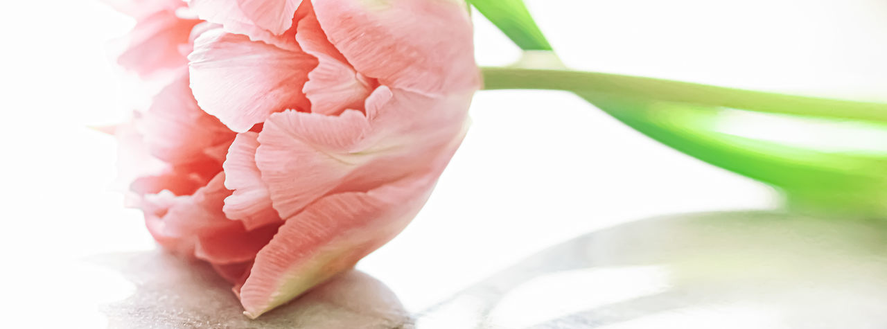 Close-up of pink rose over white background