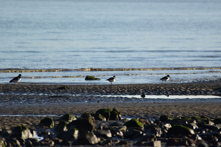 Oystercatchers on beach