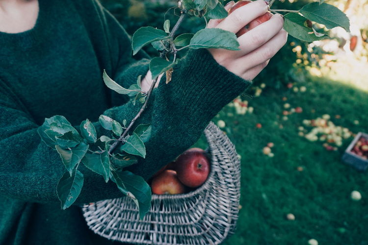 picking organic apples Apple Apples Apple - Fruit Apple Tree Human Body Part Human Hand Picking Picking Apples Organic Harvest Harvesting Healthy Eating Healthy Lifestyle EyeEm Selects Human Hand Leaf Close-up Autumn Mood