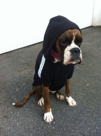 Boxer Dogs Dog❤ Dogslife Dog One Animal Adidog AdidasLover❤ Dogs Pets
