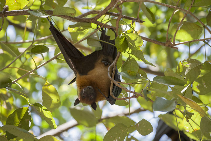 Foxbats in Thailand ASIA Bat Thailand Animal Themes Bat - Animal Branch Close-up Day Fox Fox Bat Foxbat Fruit Green Color Hanging Leaf Low Angle View Mammal Nature No People One Animal Outdoors Tree