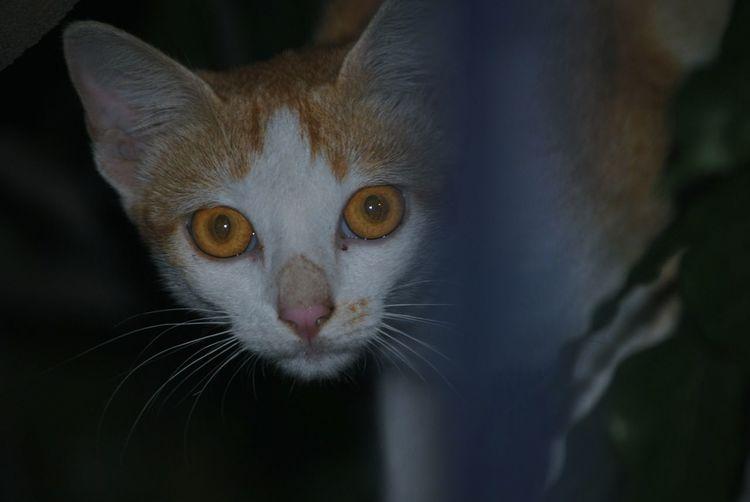 stalker kitty! Black Background Pets Portrait Feline Looking At Camera Domestic Cat Whisker Closing Eye Cute