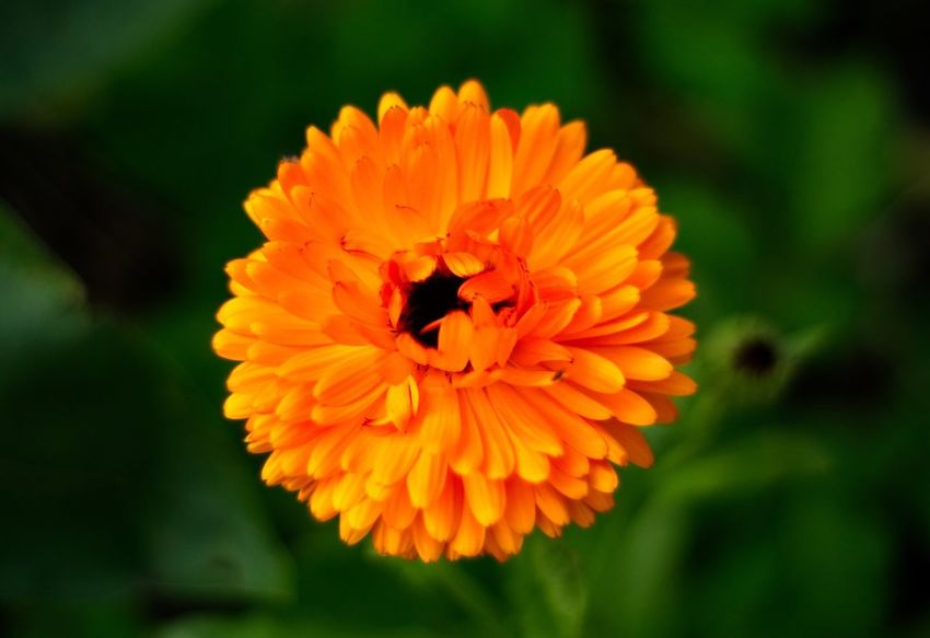 Flowering Plant Flower Petal Fragility Flower Head Vulnerability  Invertebrate Beauty In Nature Freshness Close-up Orange Color Plant
