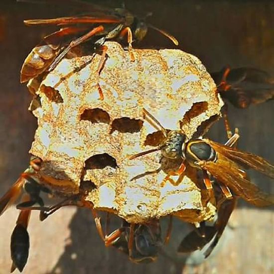Coisa De Deus Natureza Perfeita♡♥ Brasil ♥ Peruíbe Abelhas Vespoes Wasp Nest Wasp Macro Wasp