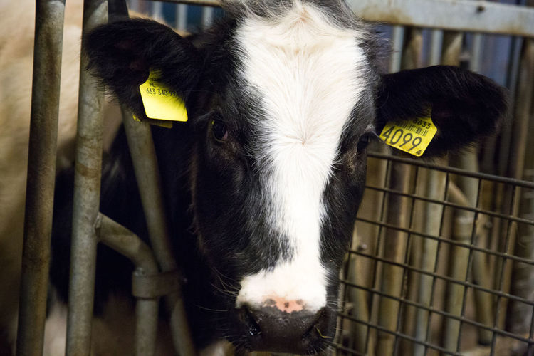 Portrait of young cow at farm Barn Animal Themes Care Farm Care Farms Close-up Cow Day Domestic Animals Domesticated Animal Tag Indoors  Livestock Mammal No People One Animal Petting Zoo Pettingfarm Portrait Young Animal Young Cow