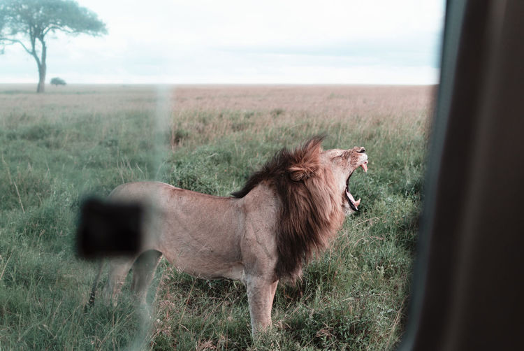 View of lion yawning on field