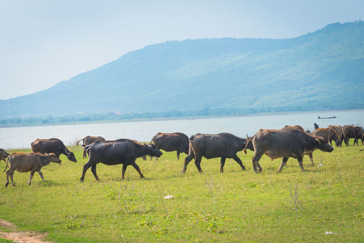 Buffalo is eating grass on the lake. Animal Animal Themes Animal Wildlife Animals In The Wild Beauty In Nature Domestic Animals Environment Field Grass Group Of Animals Herbivorous Herd Land Landscape Livestock Mammal Mountain Nature No People Outdoors Plant Sky Vertebrate
