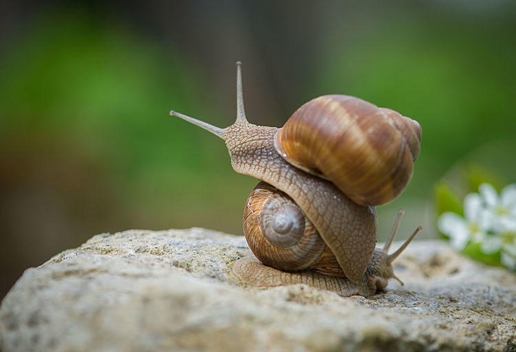 Snail Love Joys Animal Animal Themes Animals In Captivity Animals In The Wild Close-up Enjoying Life Fauna And Flora Love Macro Macro Photography Moment Nature Relaxing Romance Romantic Snail Snails Snails Mate Snails Mating Spring Spring Blooms Springtime Stone Two EyeEmNewHere