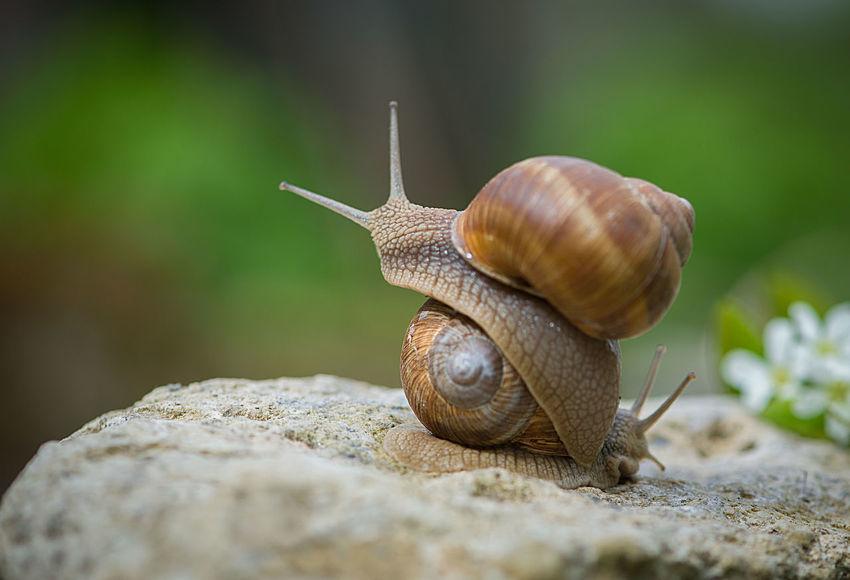 Snail Love Joys Animal Animal Themes Animals In Captivity Animals In The Wild Close-up Enjoying Life Fauna And Flora Love Macro Macro Photography Moment Nature Relaxing Romance Romantic Snail Snails Snails Mate Snails Mating Spring Spring Blooms Springtime Stone Two EyeEmNewHere