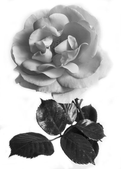 Close-up of wilted rose against white background