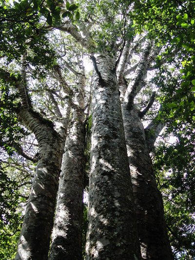 Kauri Tree Majestic Nature Forest Four Sisters Green Color Growth Low Angle View New Zealand No People Outdoors Sunlight Tall - High Tree