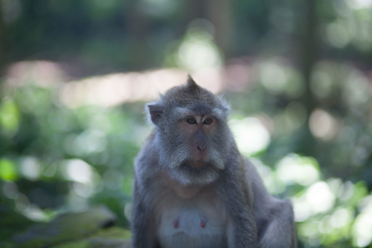 one animal, animals in the wild, monkey, animal wildlife, focus on foreground, animal themes, mammal, looking at camera, day, outdoors, portrait, nature, close-up, no people, baboon