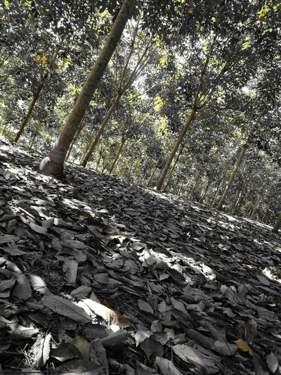 Tree Nature No People Beauty In Nature Day Tranquility Caucho Rubber Tree Forest