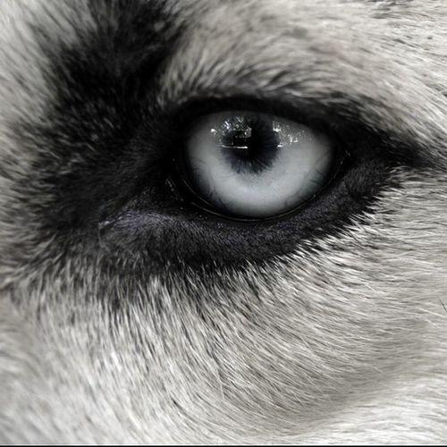 An eye Matasatu Husky Mix Herder Herky Pet Animal Love Eye