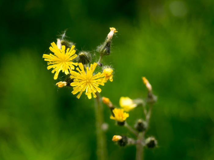 Animal Themes Animal Wildlife Animals In The Wild Beauty In Nature Bee Blooming Close-up Day Flower Flower Head Fragility Freshness Growth Insect Nature No People One Animal Outdoors Petal Plant Pollination Provincial Park Wells Gray Wells Gray National Park Yellow