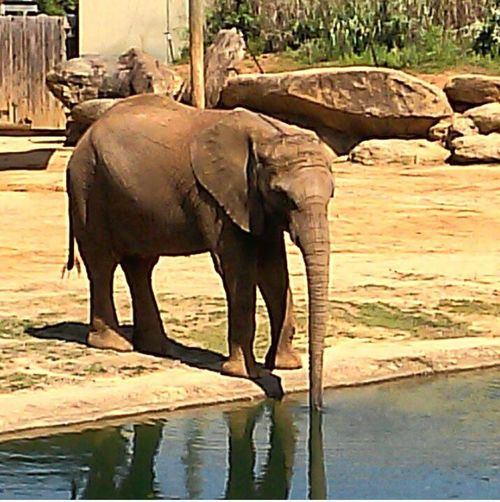 Hello World Montgomery Zoo Enjoying Life Elephant ♥ Elephantlove Elephant Trunk Elephant Drinking Water Reflections Drinking Water Watering Hole Zoo Animals  Boulder In The Background Nature Photography EymEm Nature Lovers Animal Photography Animal Love
