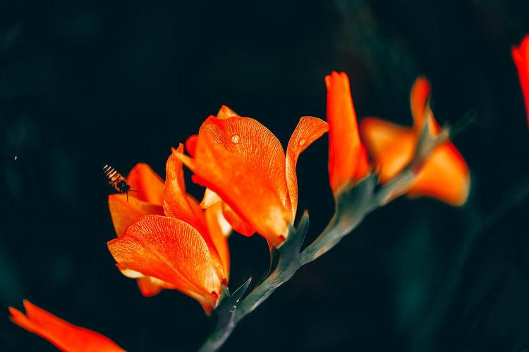 Close-up of orange lily flower