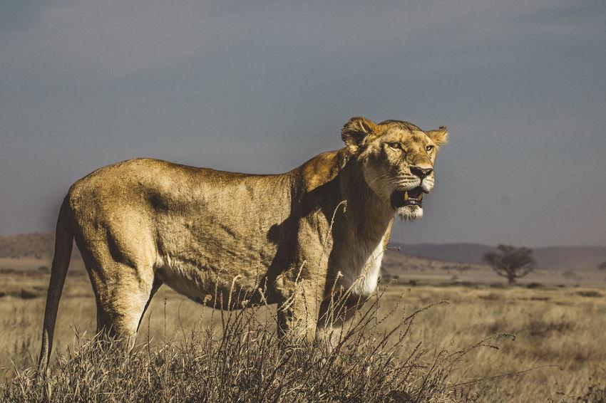 Lion in the Serengeti Serengeti National Park Tanzania Animal Animal Themes Animal Wildlife Animals In The Wild Big Cat Cat Feline Field Land Lion - Feline Lion Hunting Lioness Mammal Menacing Look Nature No People One Animal Outdoors Predator Ready To Pounce Serengeti Side View Sky