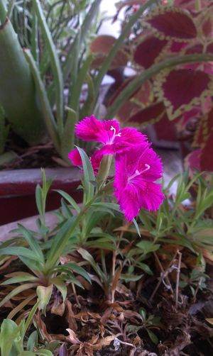 nature Flower Plant Nature Beauty In Nature Fragility Growth Flower Head Pink Color Freshness