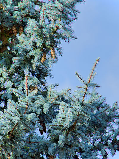EyeEmNewHere Weißtannenturm Beauty In Nature Branch Clear Sky Close-up Cold Temperature Day Freshness Green Color Growth Low Angle View Nature Needle No People Outdoors Pine Tree Plant Sky Snow Spruce Tree Tannenzapfen Tree Winter