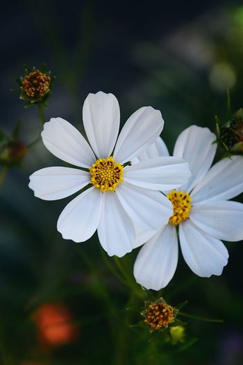Close-up of white cosmos flowers