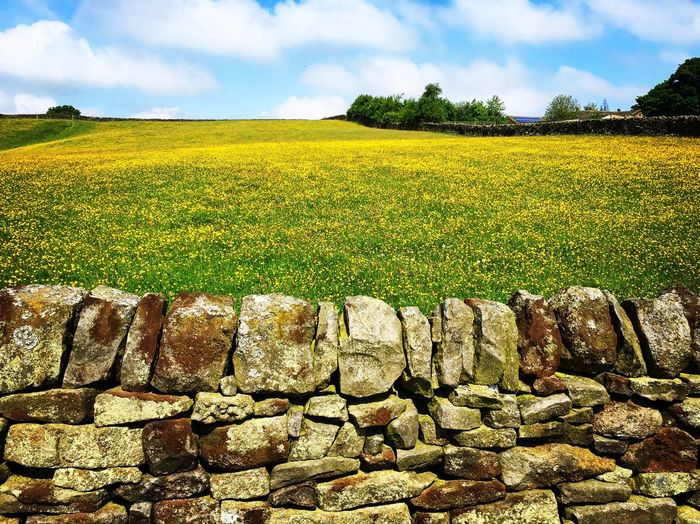 Stone walls and buttercups No People Buttercups Dry Stone Wall Buttercup Meadow Plant Sky Beauty In Nature Growth Land Landscape Field Cloud - Sky Agriculture Rural Scene Environment Nature Day No People Sunlight Flower Tranquility Yellow