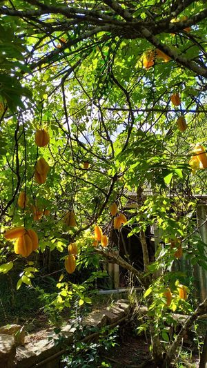 Carambola Tree Branch Sunlight Green Color Orange Tree Bamboo Grove Bamboo Plant Life Fruit Tree Citrus Fruit