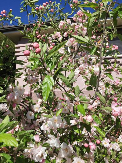 Spring Crab Apple Tree Spring Growth Flower Beauty In Nature Nature Blossom Tree Freshness Fragility No People Katoomba Blue Mountain Adoracottage Springtime Petal Day Outdoors Plant Blooming Built Structure Building Exterior Architecture Flower Head