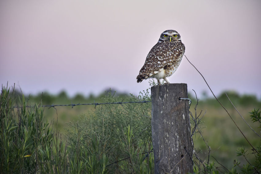 Owl standing on the post of a fence in the countryside Post Animal Animal Themes Animal Wildlife Animals In The Wild Barn Owl Bird Country Life Countryside Day Fence Fencepost Focus On Foreground Nature No People One Animal Outdoors Owl Perching Plant Post Screech Owl Vertebrate Wild Bird Wooden Post