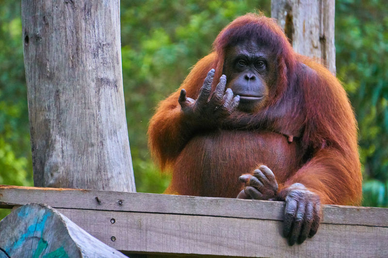 Come Here Animal Themes Mammal Primate Holding Orangutan Animals In The Wild Zoo Monkey One Animal Day Sitting Outdoors Animal Wildlife Tree Nature No People Close-up Photography Fresh On Eyeem  Wildlife Photography Wildlife & Nature Wildlife Nature Photography Tree