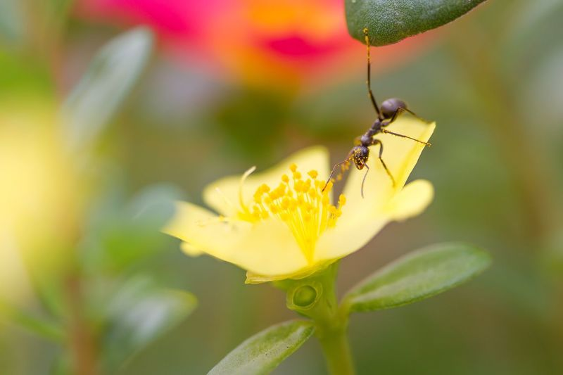 Close-Up Of Black Ant On Yellow Flower