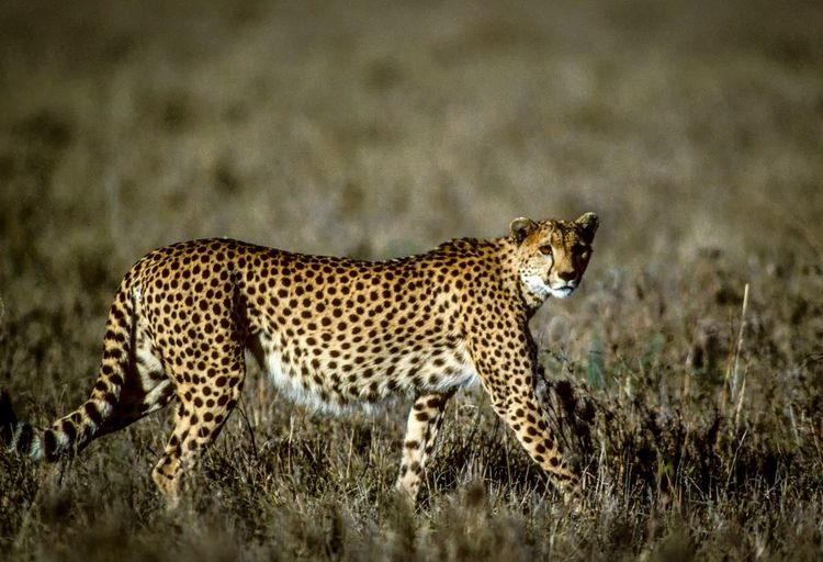Kenya Savannah Animal Animal Themes Animal Wildlife Animals Hunting Animals In The Wild Big Cat Cat Cheetah Feline Grass Hunting Land Mammal Nature No People One Animal Side View Spotted Undomesticated Cat Vertebrate