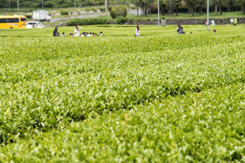landscape of green tea field at Osulloc in Jeju Island, South Korea Adult Adults Only Agriculture Day Field Freshness Grass Green Color Green Tea Field JEJU ISLAND  Large Group Of People Nature Osulloc Outdoors People Playing Field Real People