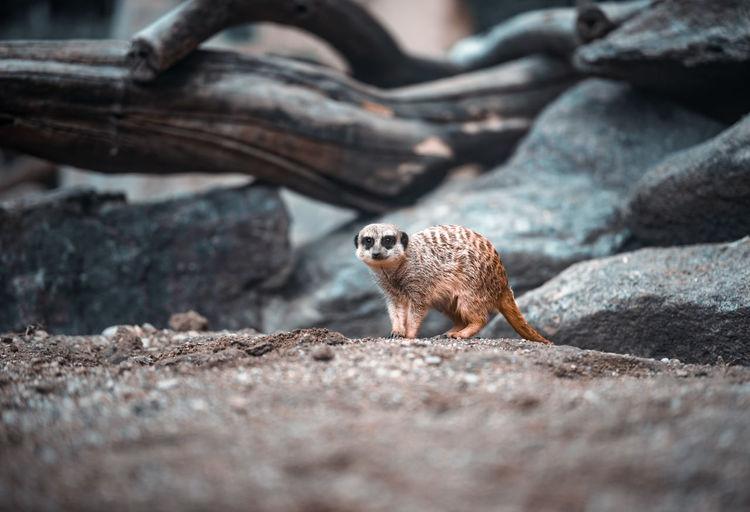 Wild meerkat looking at camera in front of rocks