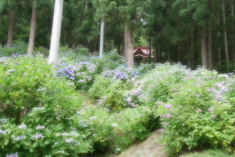 Hydrangea Nature Photography Nature Green Color Temple 出塩文殊堂