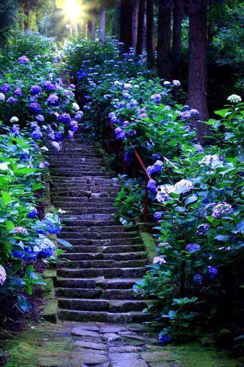 紫陽花 Scenery