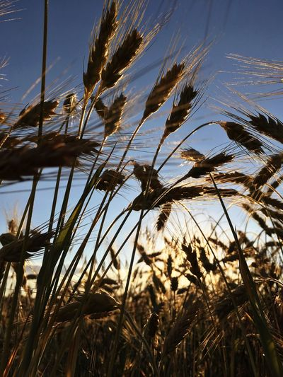 Growth Nature Plant No People Beauty In Nature Tranquil Scene Outdoors Tranquility Day Scenics Low Angle View Cereal Plant Sky Rural Scene Flower Close-up Wheat