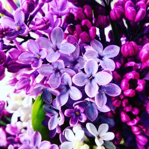Bez Kwiatbzu Flowers Macro Beauttiful Passion Summer Friends Ogrodek Garden