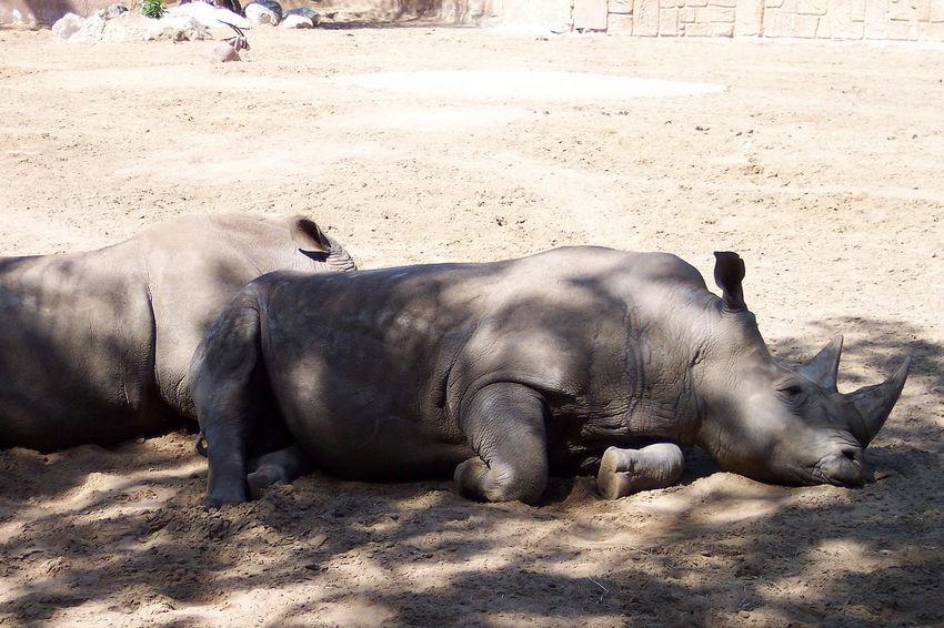 Horns Nashornhorn Animal Themes Horn Outdoors Rhinoceros Rhinos Sunlight Three Animals Tranquil Scene Outdoors Eyeemmarket MEGA horns