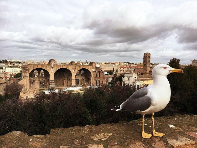 Majestic seagull