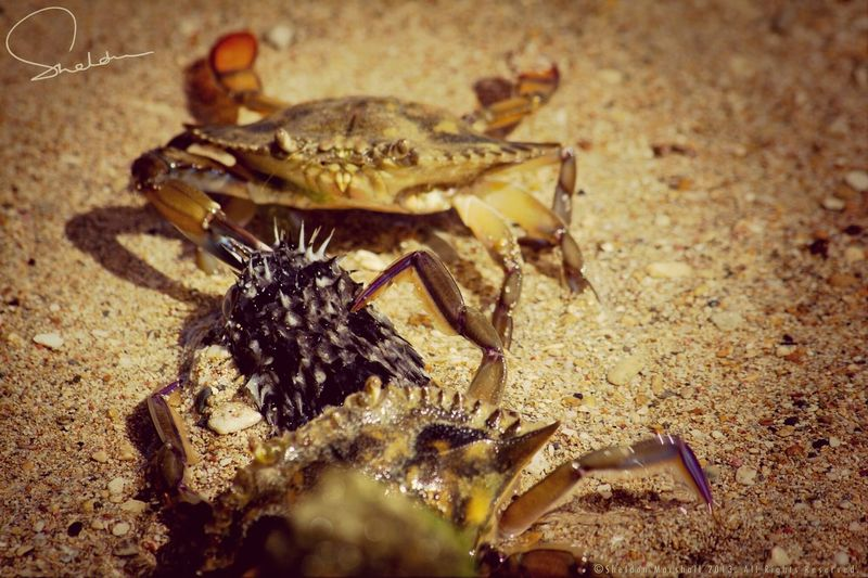The dance of the crabs. Check This Out Barbados Nature NEXTshotPhotos