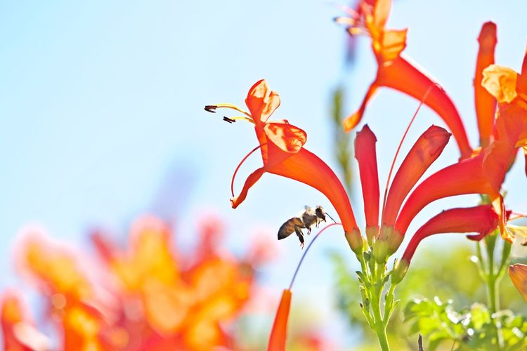Flower Flowering Plant Plant Vulnerability  Fragility Beauty In Nature Growth No People Freshness Petal Flower Head Animal Themes Animal Animal Wildlife Insect Outdoors Pollen Pollination Close-up Nature Focus On Foreground Bee Flying Bee
