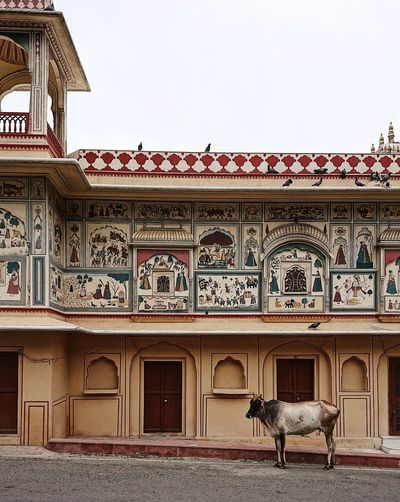 India Travel Photography Travelling Animal Animal Themes Architecture Building Building Exterior Built Structure Clear Sky Day Domestic Domestic Animals Holycow Incredible India Mammal Mural No People One Animal Ornate Outdoors Rajasthan Sky Travel Destinations Travelphotography