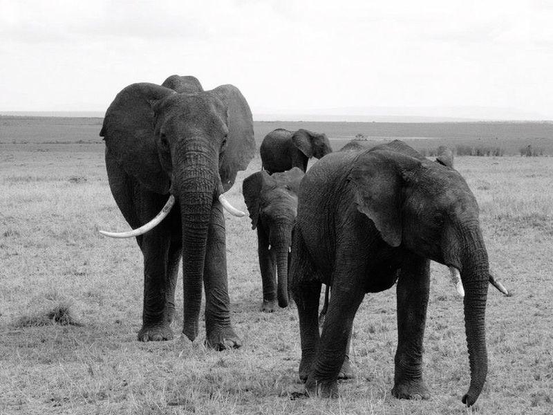 Elephants Masai Mara Kenya Africa